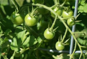 Culture tomate sous serre